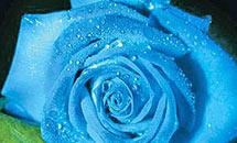 ดอกกุหลาบสีน้ำเงิน