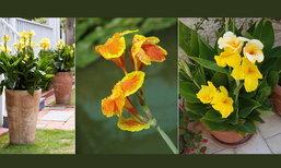 ดอกไม้ของพ่อ ดอกพุทธรักษาสีเหลือง