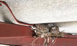 4 วิธีกำจัดรังนกออกจากบ้านแบบปลอดภัย ไม่ติดเชื้อ