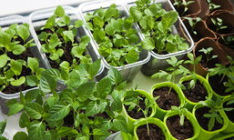 วิธีปลูกผักสวนครัวในกระถาง สำหรับบ้านพื้นที่จำกัด