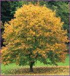 ทำนายทายทัก : ต้นไม้ประจำวันเกิด