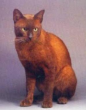 แมวสีทองแดง