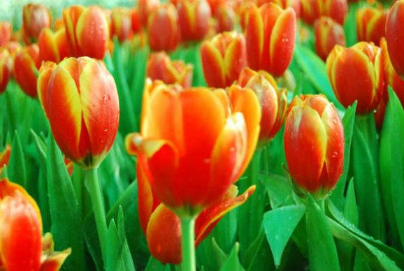 ดอกทิวลิป