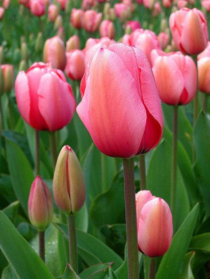 ดอกไม้ประจำราศีกันย์ : ดอกทิวลิป