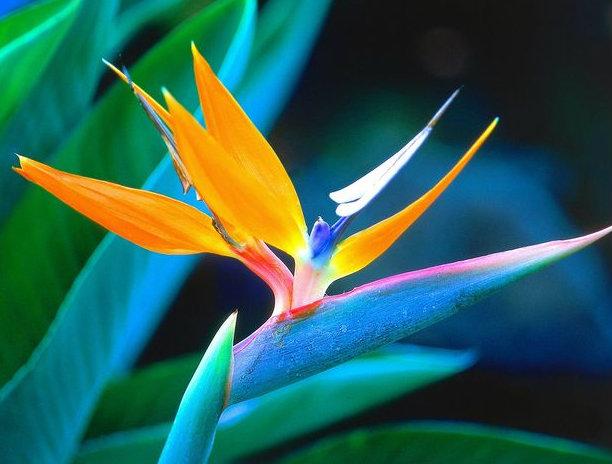 ดอกไม้ประจำราศีธนู : ปักษาสวรรค์ (BIRD OF PARADISE)