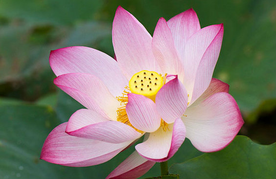 ดอกไม้ประจำราศีกรกฏ : ดอกบัว