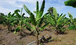 หนีกรุงทิ้งเงินเดือนประจำ มาทำการเกษตร รับรายได้งาม 20,000บาท/เดือน ที่ชัยภูมิ