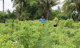 เกษตรกรสงขลาปลูกพริกในกระสอบได้ผลผลิตดี