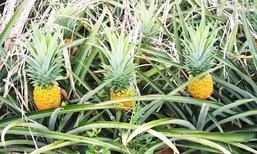 ไม่พอขาย ! เร่งส่งเสริมเกษตรกรปลูกสับปะรดพันธุ์สยามโกลด์ เน้นทานผลสด เก็บได้นาน