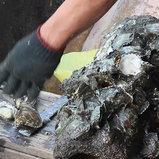 เลี้ยงหอยนางรมแบบธรรมชาติ