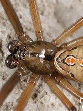 เตือน! แมงมุมแม่หม้ายน้ำตาล พิษร้ายกว่างูเห่า3เท่า อาละวาดลุ่มเจ้าพระยา-แม่กลอง