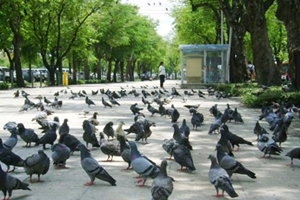 กทม.เริ่มตั้งกรงให้อาหารนกพิราบในสนามหลวง