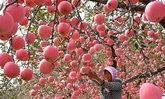 """เกษตรกรจีนเก็บผลผลิต """"แอปเปิล"""" ลูกดกสีสวยละลานตา"""
