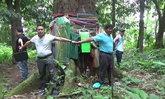 ผุดกลางป่า! ต้นตะเคียนยักษ์โบราณขนาด 7 คนโอบ ชาวบ้านศรัทธาใกล้วันหวยออกยิ่งคึกคัก