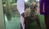คลิประทึก เสือโคร่งลูกผสมย่องเงียบ หวังตะครุบนักท่องเที่ยวในสหรัฐฯ