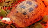 ชาวบ้านฮือฮา เต่าสีทองอร่าม คลานเข้าร้านขายของชำที่สามโคก