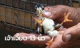 คอหวยแห่ตีเลขเด็ด ลูกไก่ 3 ขา 5 นิ้ว ปศุสัตว์คาดเป็นอวัยวะของแฝดที่ตายไป