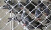 """ย้ายแล้ว """"นกพิราบ"""" จากกรุงเทพฯ 143 ตัว เก็บรักษาด่านกักกันสัตว์อยุธยา"""