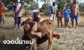 ฮือฮา แม่วัว 5 เต้า ตกลูกเพศเมีย 5 ขา 6 เท้า เชื่อนำโชคมาให้ปีวัวทอง