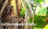 ฮือฮา พบต้นกล้วยน้ำว้าสุดแปลก มีลูกออกกลางลำต้น นับได้ 13 ลูก