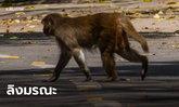 ลิงหิวน้ำ ปาก้อนอิฐจากชั้น 2 โดนหัวหนุ่มอินเดียดับ!