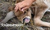เจ้าของตกใจลูกวัวประหลาด 3 ตา คลอดก่อนกำหนดแต่รอด เชื่อมาให้โชคตรุษจีน