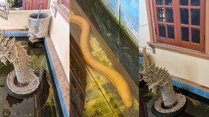 """แห่ดู """"ปลาไหลสีทอง"""" เจอหลังออกพรรษา 1 วัน ชูคอโชว์ตัวหลังรูปปั้นพญานาค"""